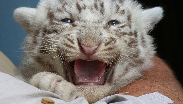 ВКрыму родились три белых тигренка: Атос, Портос иАрамис
