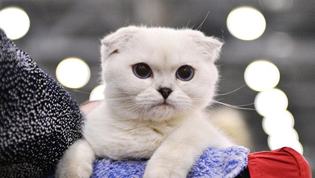 Кошка породы шотландская вислоухая на выставке Гран-при Royal Canin в Москве