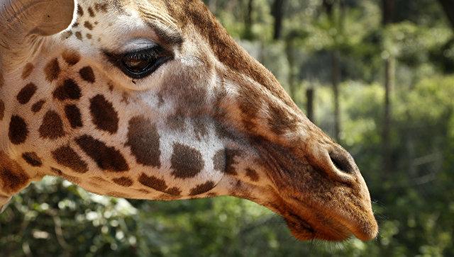 ВЛенинградском зоопарке погибла жираф-долгожитель поимени Луга