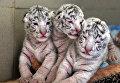 """Белые бенгальские тигрята, родившиеся в ялтинском зоопарке """"Сказка"""""""
