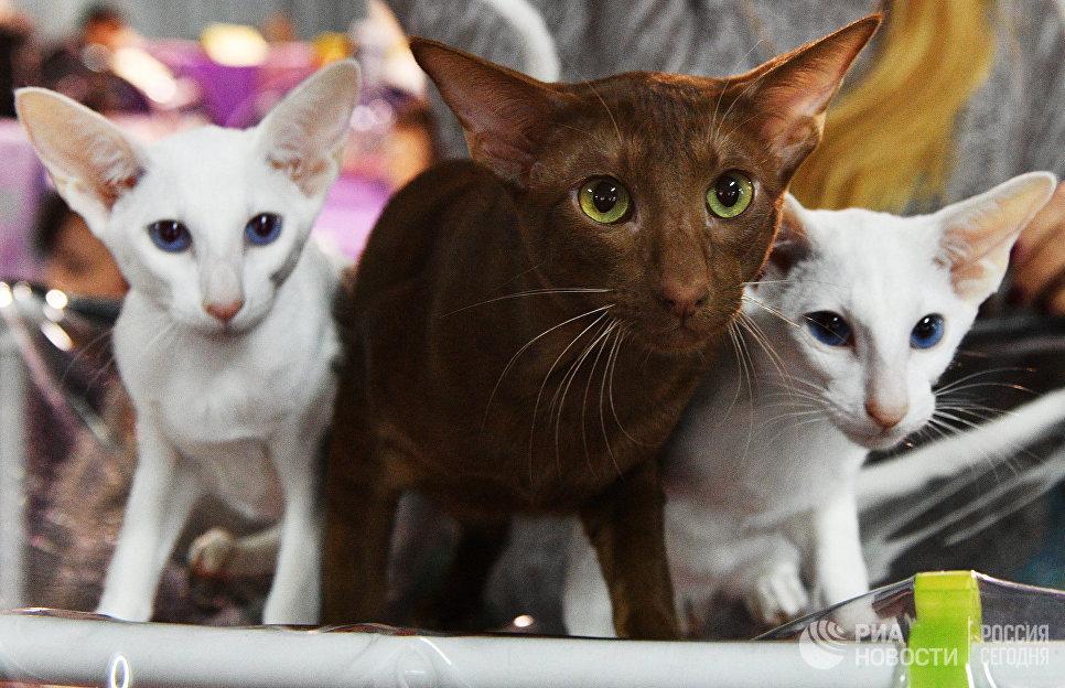 Кошки породы ориентальная на выставке Кэт-Салон-Декабрь в Москве