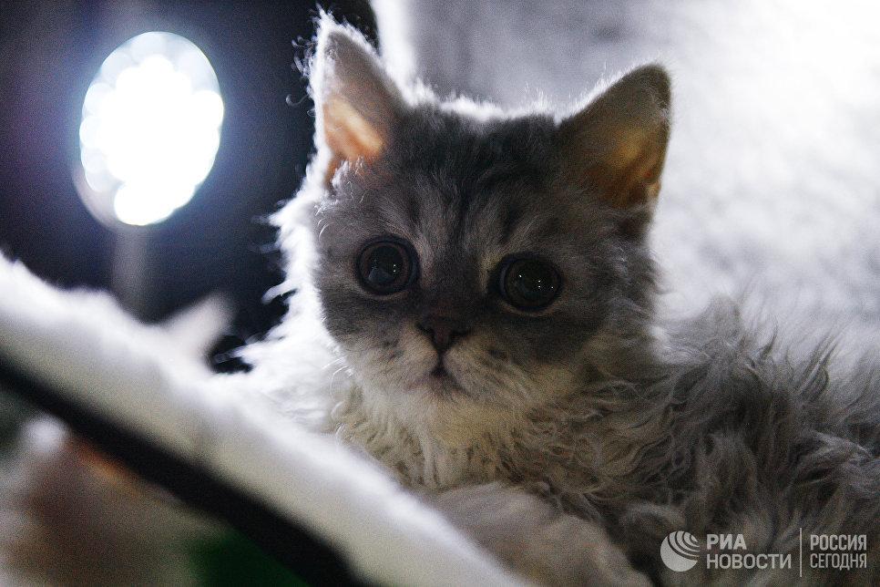 Кошка породы селкирк-рекс на выставке Кэт-Салон-Декабрь в Москве