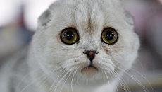 Кошка породы шотландская вислоухая на выставке Кэт-Салон-Декабрь в Москве
