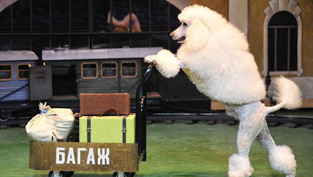 Пудель везет тележку во время репетиции представления в театре Уголок дедушки Дурова. Архивное фото