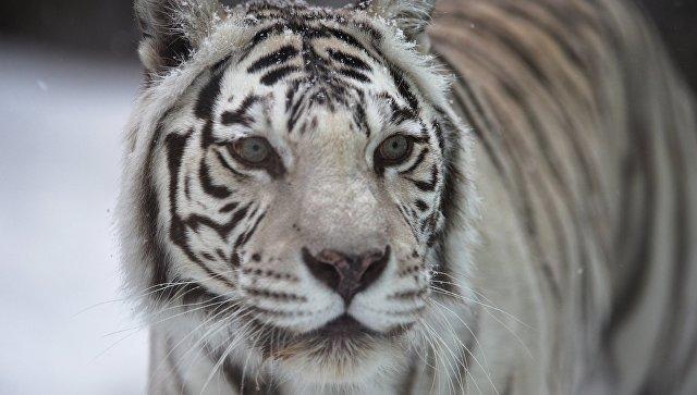 Белые тигры попали в трагедию при транспортировке изВолгограда вУфу