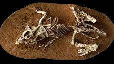 Зародыш динозавра внутри окаменелого яйца, найденного в пустыне Гоби