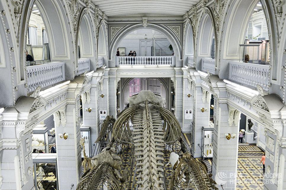 Скелет синего кита в зоологическом музее Санкт-Петербурга