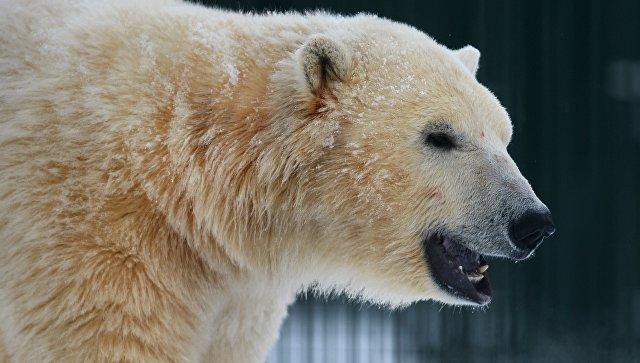Белые медведи пришли впоселок наЧукотке ипокатались сгорки