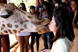 Посетительница кормит жирафа в Жираф-центре в Найроби, Кения