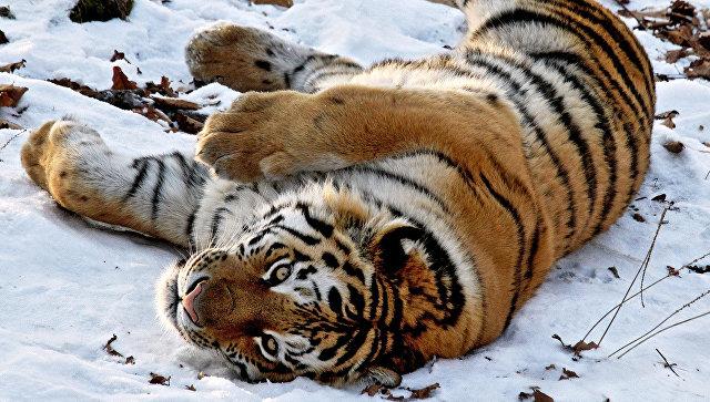 ВПриморье молодая тигрица погибла, попавшись вкапкан браконьера