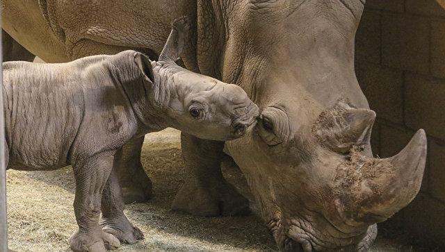 Взоопарке под Парижем убит белый носорог