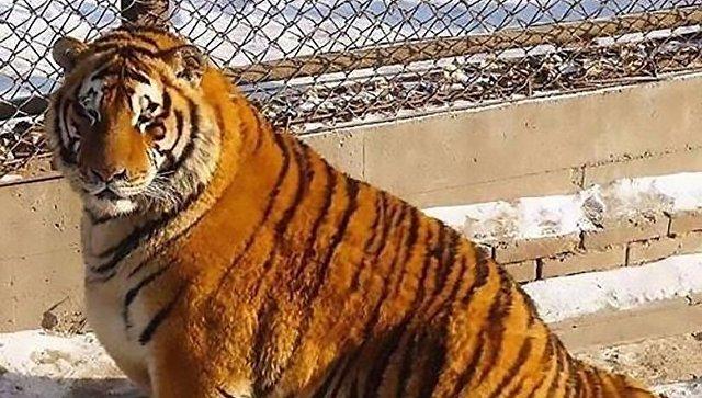Толстых тигров взоопарке Китая увидели посетители