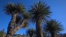 Пальмы в Никитском ботаническом саду в Крыму