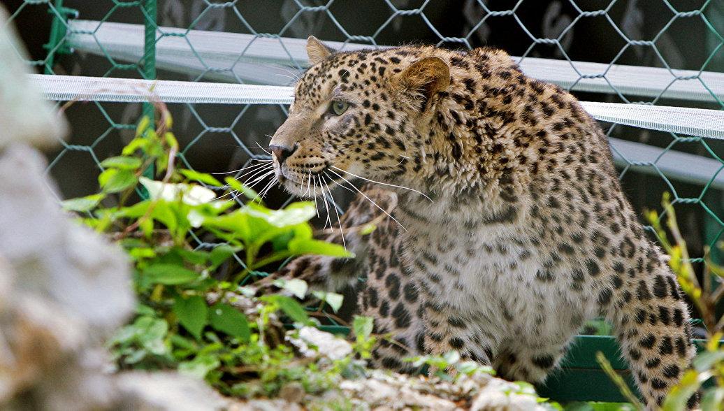 Через пару лет переднеазиатского леопарда могут выпустить вгоры Дагестана