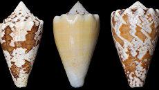Раковины улиток-убийц, в яде которых ученые нашли обезболивающее