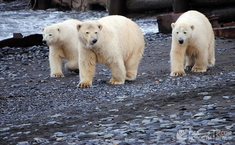 Сегодня отмечается День белого медведя