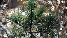 В Томской области высадят около 3,5 миллиона деревьев в Год экологии