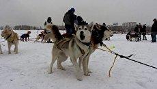 Собачьи упряжки по очереди стартовали в гонке Baikal Race в Иркутске
