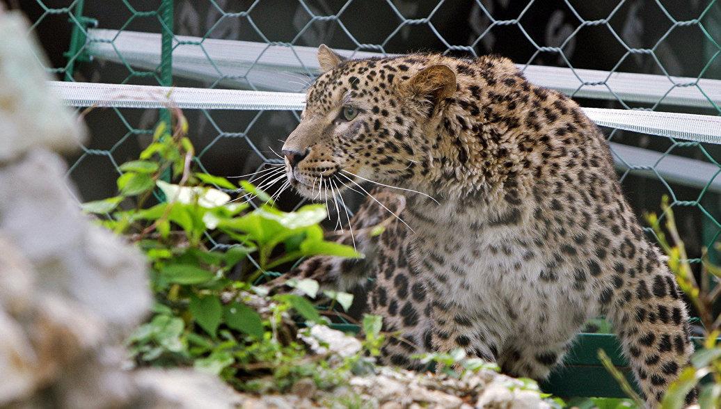 Леопарды Кавказского заповедника удачно пережили зиму вдикой природе