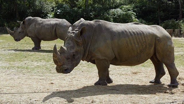 Носороги в зоопарке Туари во Франции. Архивное фото