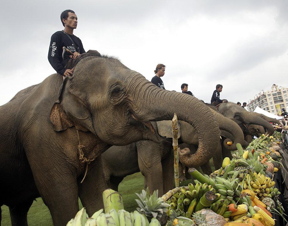 Слонов кормят фруктами и овощами перед матчем по поло на слонах в Бангкоке, Таиланд