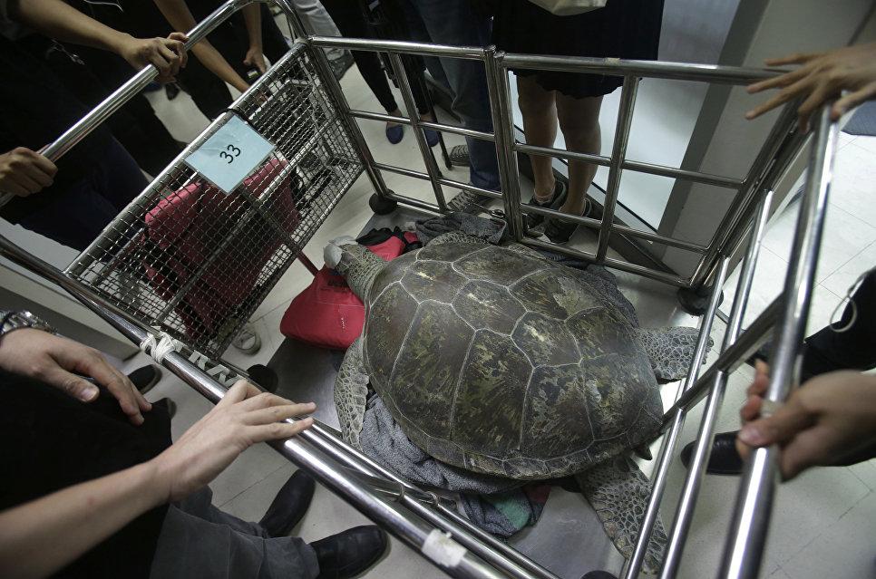 Зеленая черепаха по кличке Свинка-Копилка после операции по извлечению монет в Чулалонгкорнском университете, Таиланд
