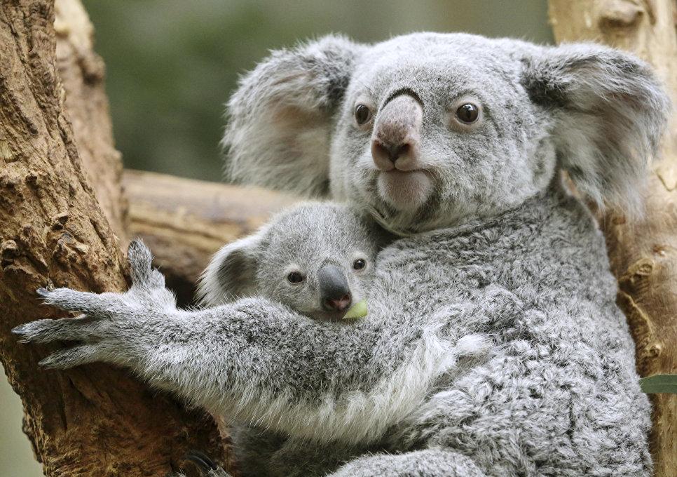 Детеныш коалы по кличке Рамбура и его мать Иона в зоопарке Дуйсбурга, Германия