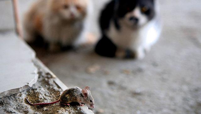 Коты наблюдают за мышью в Кувейте