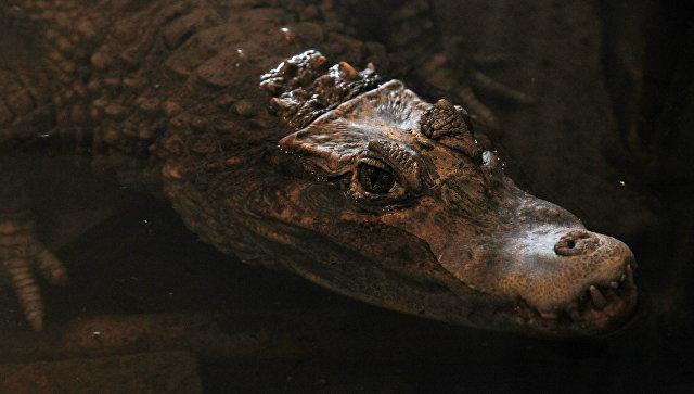 В Петербурге началась проверка после сообщений о крокодиле у фигуранта дела