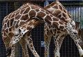 Жирафы в берлинском зоологическом зоопарке