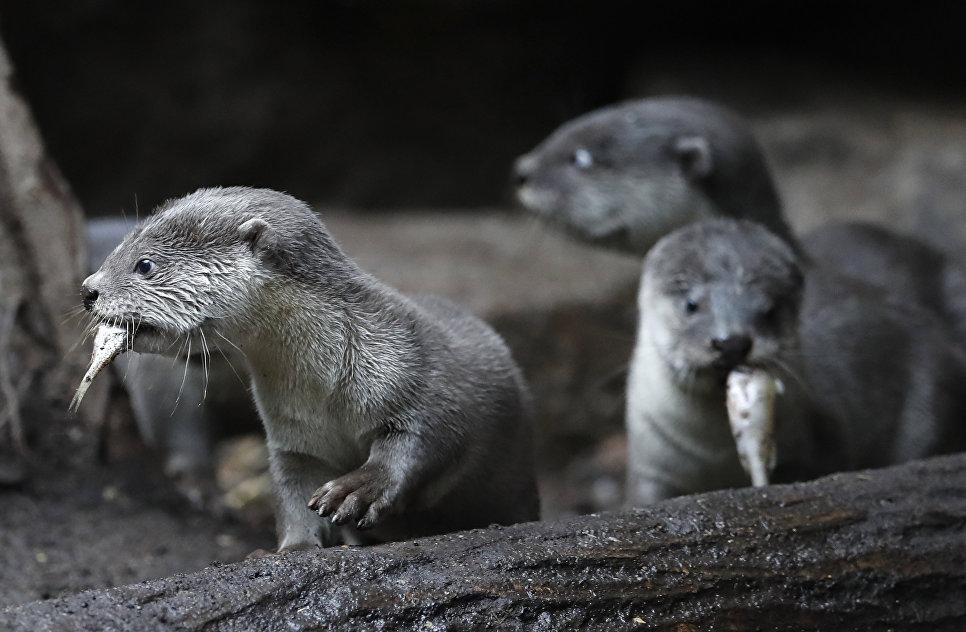 Новорожденные детёныши гладкошёрстной выдры в Пражском зоопарке, Чехия