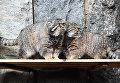 Манулы в Московском зоопарке