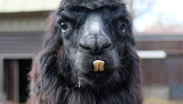 Посетители украинского зоопарка насмерть закормили альпаку