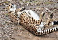 Гепард в Московском зоопарке