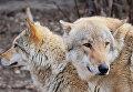 Европейские волки в Московском зоопарке