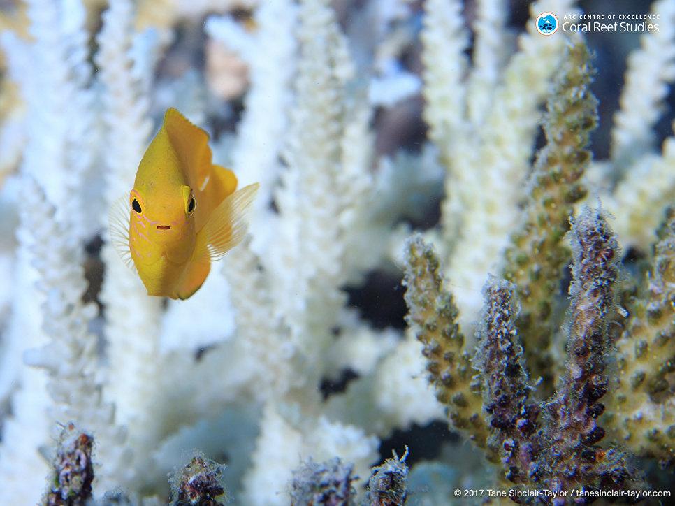 Рыба плавает возле здорового коралла Большого Барьерного рифа