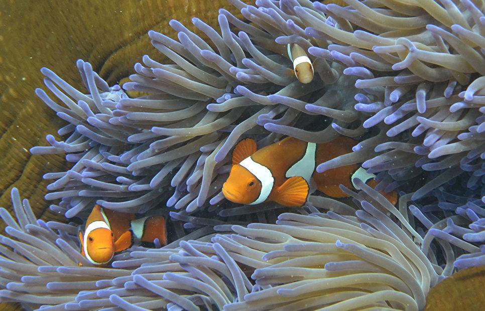 Рыбы плавают в кораллах Большого Барьерного рифа в Австралии