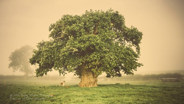 Работа фотографа Tracey Williams Дуб Brimmon для 2017 European Tree of the Year