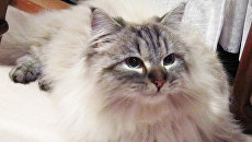 Кот, подаренный Владимиром Путиным губернатору японской префектуры Акита Норихиса Сатакэ
