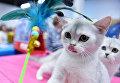 Кошки породы британская на международной выставке Кубок Валенсии - Весна в Москве