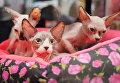 Кошки породы сфинкс на международной выставке Кубок Валенсии - Весна в Москве