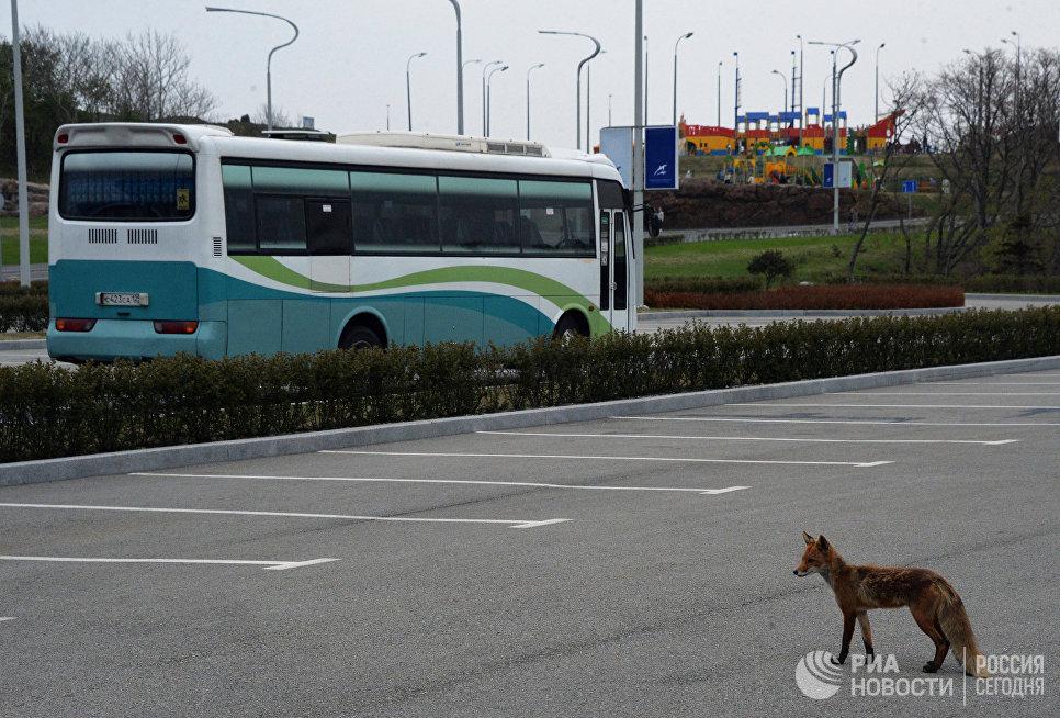 Лисица на территории парковки Приморского океанариума на острове Русском
