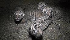 Полосатая четверка: амурские тигрята родились в крымском сафари-парке