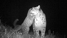Снимок самки ирбиса с котятами, сделанный фотоловушкой