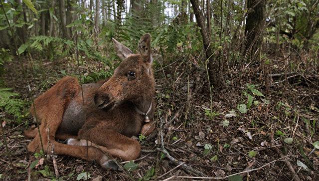 Полиция застрелила лосенка Дурашку, ставшего любимцем финнов