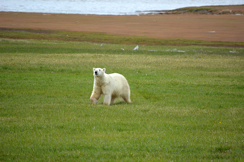 В столицу доставили белого медвежонка, найденного вЯкутии