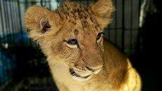 Львенок. Архивное фото