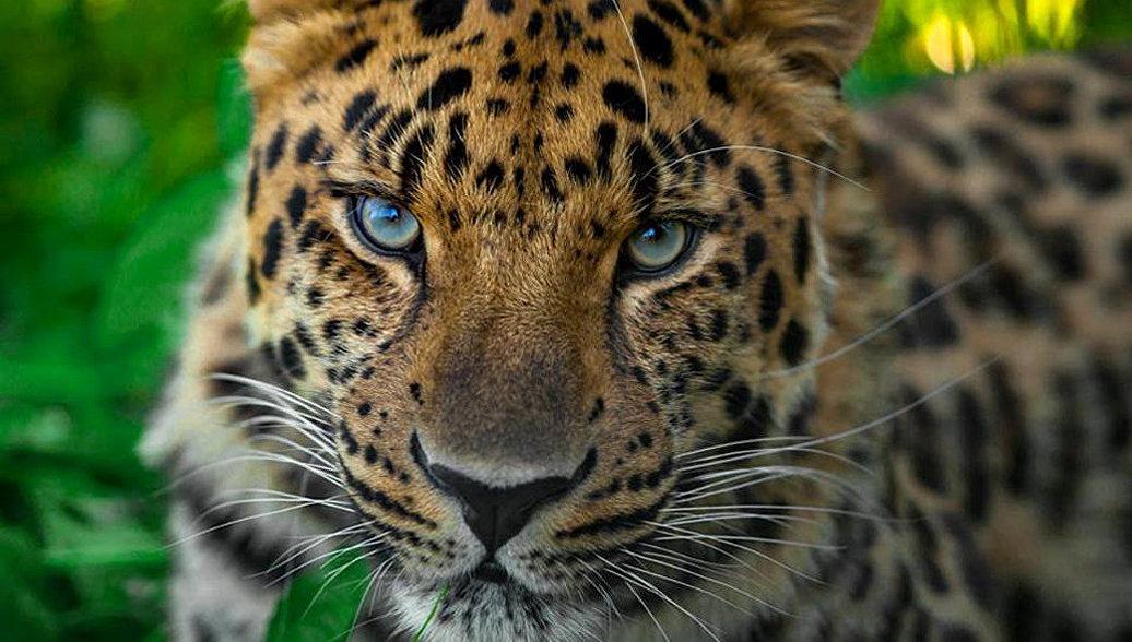 Леопарда Николая, спасенного вПриморье, познакомили спервой невестой