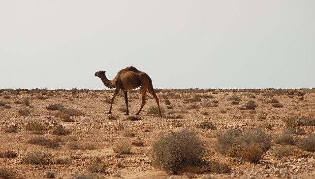 КНР закроет 145 рудников для сохранения уникальных верблюдов