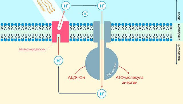 Устройство мембраны светочувствительной бактерии